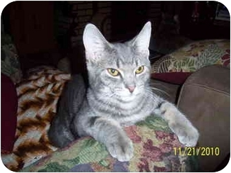Domestic Shorthair Kitten for adoption in Cleveland, Ohio - Grey