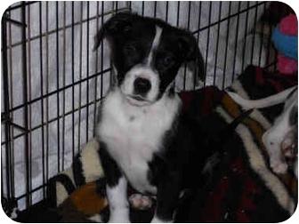 Border Collie Mix Puppy for adoption in Cincinnati, Ohio - Gus