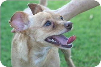 Chihuahua Mix Dog for adoption in Scottsdale, Arizona - Coco