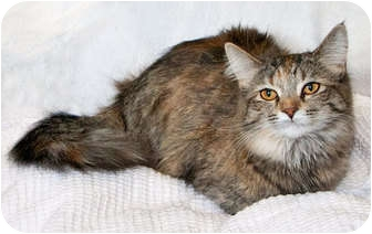 Domestic Longhair Cat for adoption in Howell, Michigan - Jill