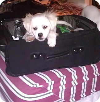 Pekingese/Chihuahua Mix Puppy for adoption in SO CALIF, California - PUPPY PUDGE