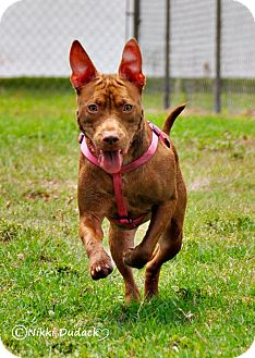 American Pit Bull Terrier/Boxer Mix Dog for adoption in Orlando, Florida - Nora (Ginger)