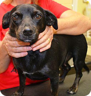 Dachshund/Chihuahua Mix Dog for adoption in Washington, D.C. - Smilee
