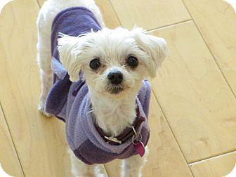 Maltese Mix Dog for adoption in San Diego, California - Allie