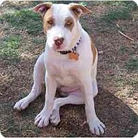 Adopt A Pet :: Cusco - Scottsdale, AZ