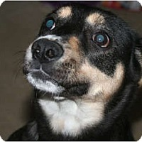Adopt A Pet :: Marni - Westfield, IN