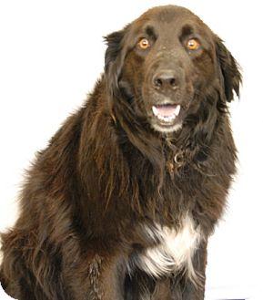 Newfoundland/Border Collie Mix Dog for adoption in Newland, North Carolina - Jack