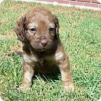 Adopt A Pet :: William - La Habra Heights, CA