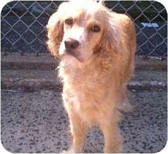 Cocker Spaniel Dog for adoption in Flushing, New York - Bella Boo