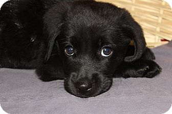 Labrador Retriever Mix Puppy for adoption in Waldorf, Maryland - Valerie