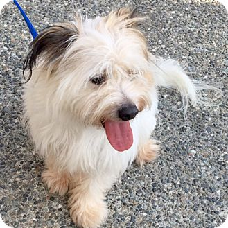 Cairn Terrier/Maltese Mix Dog for adoption in Woodinville, Washington - Oscar