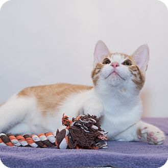 Domestic Shorthair Kitten for adoption in Houston, Texas - Jimmy Choo