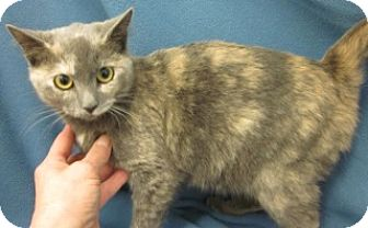 Domestic Shorthair Cat for adoption in Olive Branch, Mississippi - Daphne