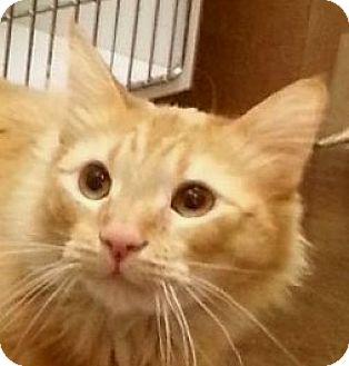 Domestic Longhair Cat for adoption in Winchester, California - Adrian Brody