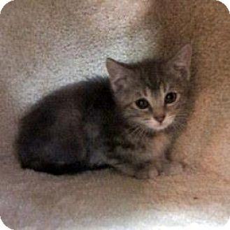 Domestic Shorthair Kitten for adoption in Janesville, Wisconsin - Matey