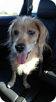 Cocker Spaniel Mix Dog for adoption in Florence, Kentucky - PawPaw