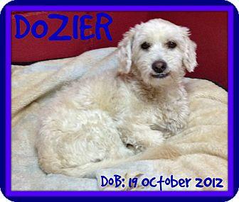 Lhasa Apso Dog for adoption in Mount Royal, Quebec - DOZIER