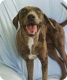Catahoula Leopard Dog Mix Dog for adoption in Lebanon, Maine - Lady