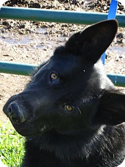 German Shepherd Dog Dog for adoption in Vacaville, California - Zorro