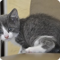 Adopt A Pet :: DASH -Russian Blue mix - New Smyrna Beach, FL