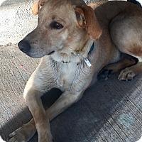 Adopt A Pet :: Maddie - Austin, TX
