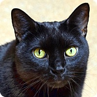 Adopt A Pet :: Shadow - Norwalk, CT