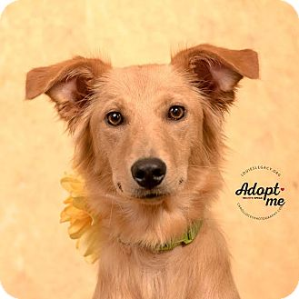 Golden Retriever/Whippet Mix Dog for adoption in Cincinnati, Ohio - Shandy