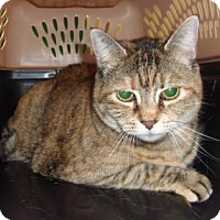 Domestic Shorthair Cat for adoption in Reno, Nevada - Ariee