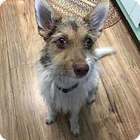 Adopt A Pet :: Misty - Brattleboro, VT