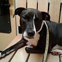 Adopt A Pet :: Shelby - Jacksonville, FL