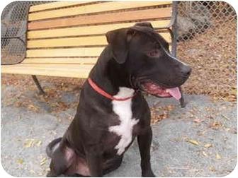 Pit Bull Terrier Mix Dog for adoption in El Cajon, California - Barney
