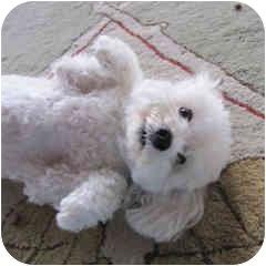 Bichon Frise Mix Dog for adoption in La Costa, California - Tuffy