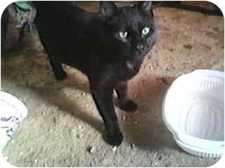 Domestic Shorthair Cat for adoption in Yakima, Washington - Melanoma