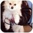 Photo 2 - Pomeranian Dog for adoption in New York, New York - Payton