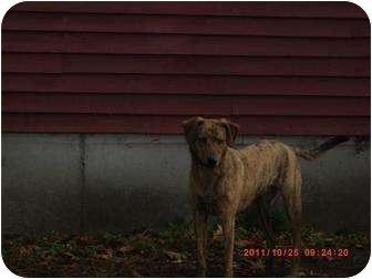 Catahoula Leopard Dog/Labrador Retriever Mix Dog for adoption in berwick, Maine - Hunter