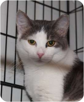 Domestic Shorthair Cat for adoption in Ocean City, New Jersey - Jessie
