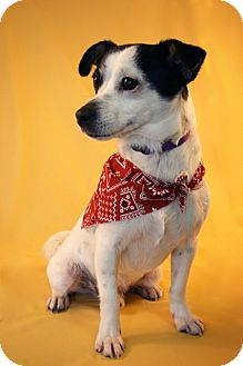 Jack Russell Terrier Mix Dog for adoption in Marion, Wisconsin - Trenton