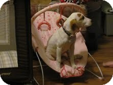 Beagle/Treeing Walker Coonhound Mix Puppy for adoption in Cranford, New Jersey - Starla