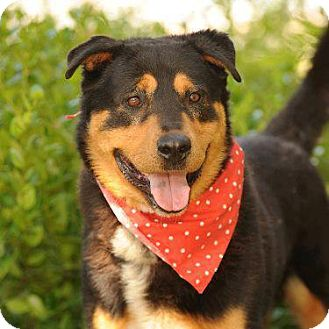 German Shepherd Dog/Rottweiler Mix Dog for adoption in Rowlands, California - Boxer