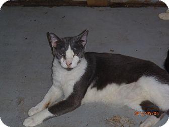 Oriental Cat for adoption in Port Richey, Florida - HaiKu
