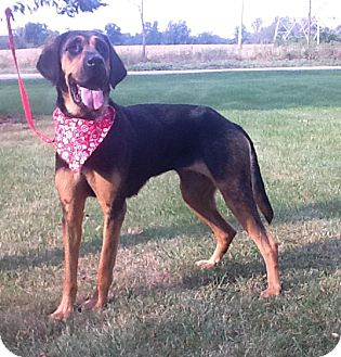 Bloodhound Mix Dog for adoption in Rochester, Michigan - Dixie