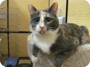 Domestic Shorthair Cat for adoption in Diamond Bar, California - PILGRIM