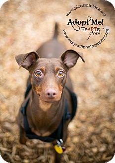 Miniature Pinscher Dog for adoption in Myersville, Maryland - Danny