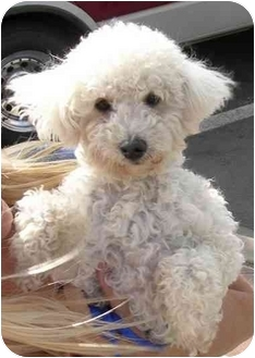 Poodle (Miniature)/Maltese Mix Dog for adoption in Rolling Hills Estates, California - Buddy