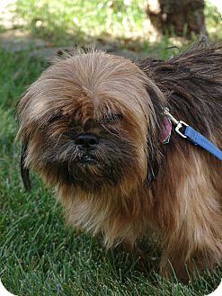 Shih Tzu Mix Dog for adoption in South Haven, Michigan - Patchy