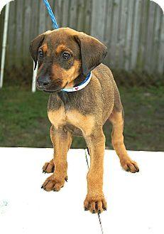 Labrador Retriever/Shepherd (Unknown Type) Mix Puppy for adoption in Englewood, Florida - Tasha