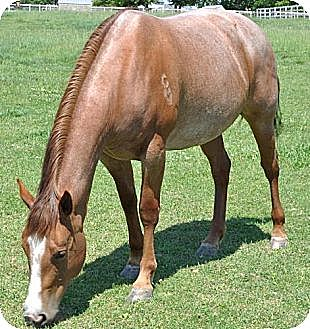 Quarterhorse for adoption in Woodstock, Illinois - Josie