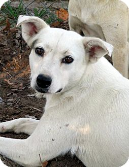 Blue Heeler/Labrador Retriever Mix Dog for adoption in Leland, Mississippi - ABBEY