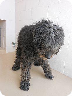 Poodle (Standard) Dog for adoption in Price, Utah - Whiskey