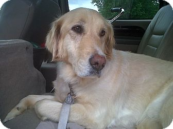 Golden Retriever Dog for adoption in Knoxville, Tennessee - Sandy